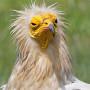 Alimoche / Egytian vulture